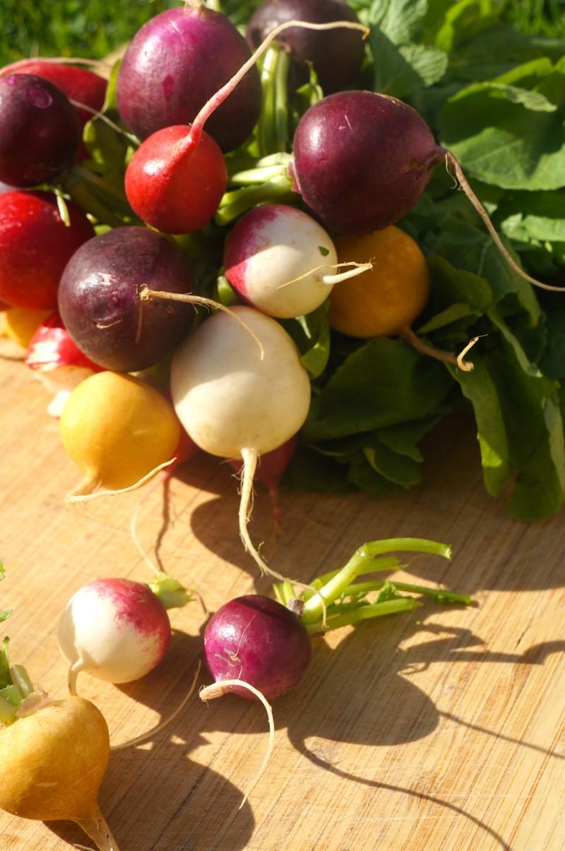 Botte de radis multicolores