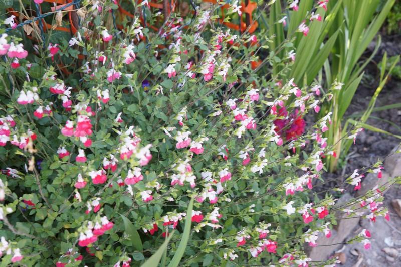 Jardin Familiaux Versailles Sauge fleurs Rouges et blanches