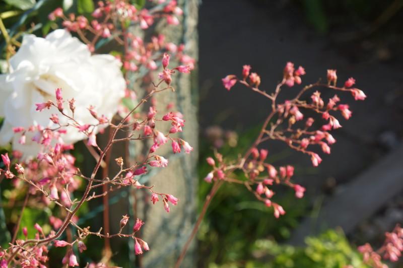 Jardin Familiaux Versailles Délicates Fleurs roses